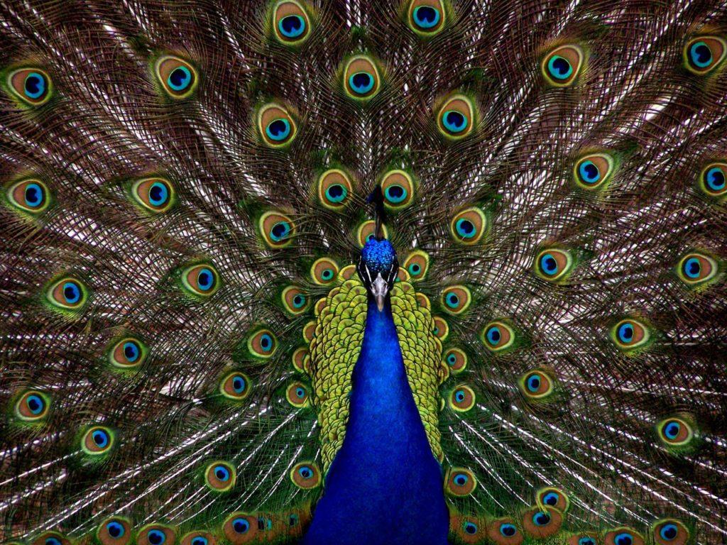 peacock-1868